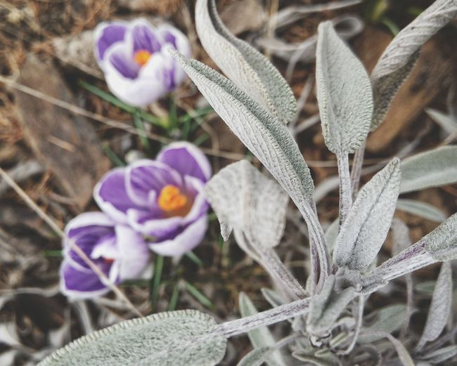 Learn & Shoot: Balancing Elements Garden Salvia Officinalis Crocus Focus On Foreground Leaves And Flowers Spring Spring Flowers Springtime Color Accents Soft Nature Treasure Healing Herbs Garden Treasures Easter Ready
