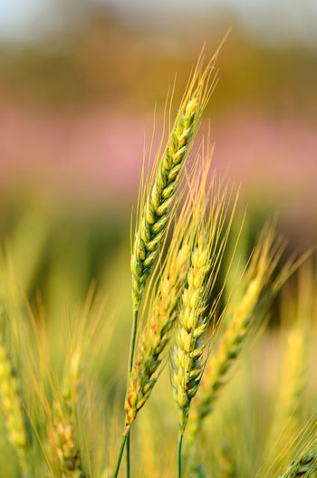 Agriculture Beauty In Nature Cereal Plant Close-up Crop  Day Ear Of Wheat Farm Field Focus On Foreground Green Color Growth Land Landscape Nature No People Outdoors Plant Plantation Rural Scene Wheat