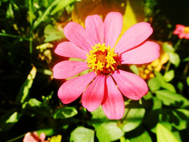 Thailand🇹🇭 Flower Pink Color Petal Plant Nature Flower Head Beauty In Nature Pollen Day Fragility Freshness Outdoors No People Summer Close-up Zinnia  Botanical Garden Eastern Purple Coneflower Banana Flower ดอกบานชื่น