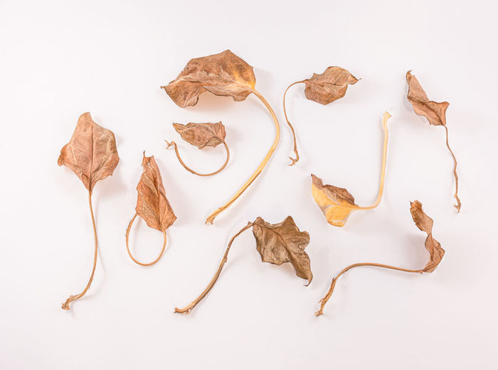 High angle view of dried leaves over white background