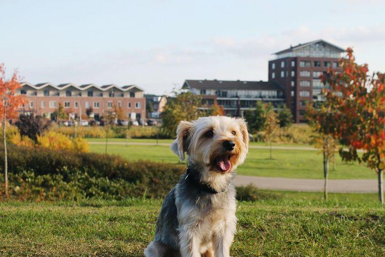 Yorkshire terrier barking on field