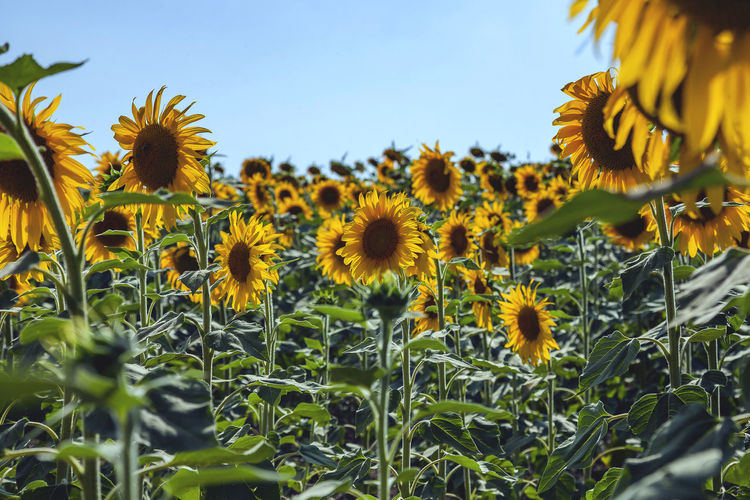 Flowering Plant Flower Plant Growth Yellow Fragility Freshness Beauty In Nature Vulnerability  Flower Head Petal Sunflower Field Close-up Land Sky Nature Inflorescence No People Day Pollen Outdoors