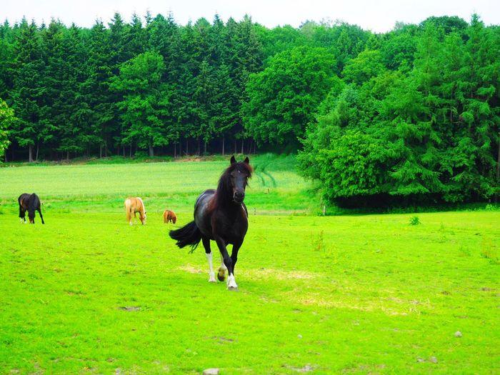 Horse Horses Blackstallion Farm FarmAnimal Farmanimals Photooftheday Feild Frohne Grass Summer Summertime