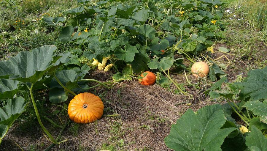 Pumpkin Garden Pumpkin Farm Pumpkins Growing Pumpkin Garden