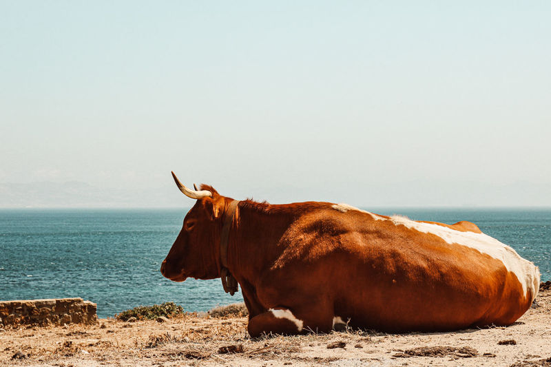 View of a cow on the beach