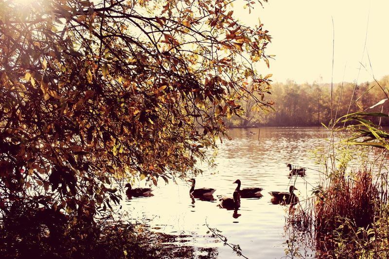 Wild geese having a Rest in their way south Taking Photos EyeEm Best Shots Eye4photography  EyeEm Nature Lover Germany Autumn Parc übach-palenberg