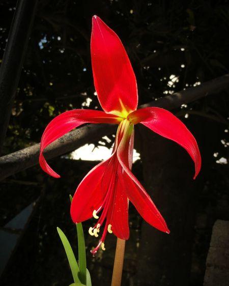 Flower Liz Flower Flor De Liz Red Flower Nature Photography Nature_perfection