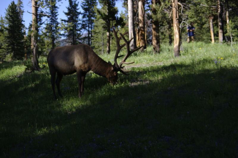 Elk Yellowstone