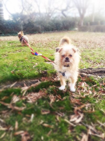 "Modified ""off leash"" experiment - dog equivalent of having to take your little brother to the movies? xo Yorkie Probs  Yorkieproblems Yorkie ♥ Yorkies Everydayimbrusseling Brussels Brusselsgriffon Brussels Griffon Brussels❤️ Tbone Alice Washington, D. C. Washington DC SW DC Dogslife Dogs Of EyeEm Cute Dogs"