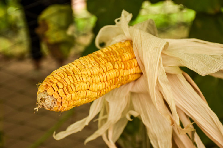Beauty In Nature Close-up Corn Corn - Crop Corn On The Cob Day Focus On Foreground Food Food And Drink Freshness Growth Healthy Eating Nature No People Outdoors Plant Sweetcorn Vegetable Wellbeing Yellow