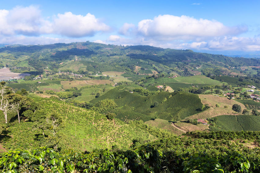 Landscape view with coffee plants in the foreground and plantations in the distance near Chinchina, Colombia. Agriculture Andes Coffee Colombia Espresso Farm Manizales Morning Plant Plants Travel Tree Arabica Blue Sky Caldas Chinchina Colombian  Countryside Hacienda Landscape Organic Plantation Robusta Rows Triangle