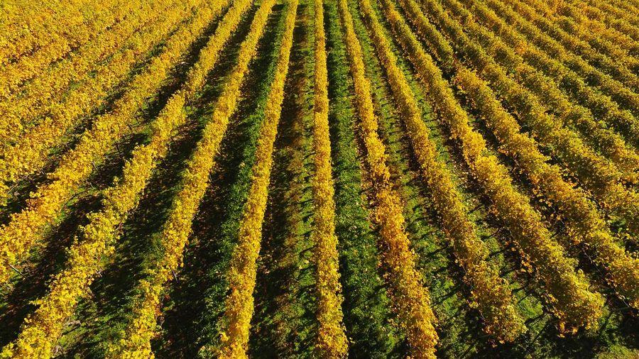Swiss grape vines