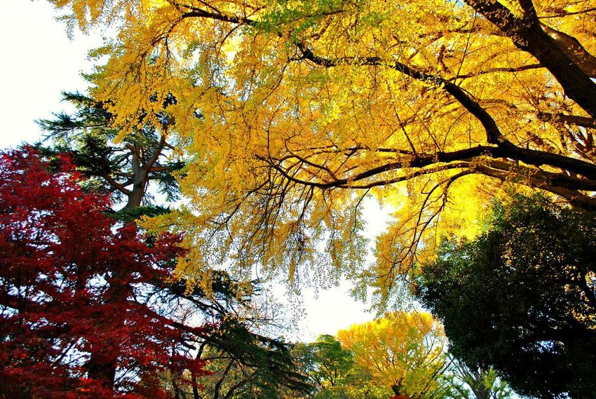 Autumn Beauty In Nature Branch Change Day Forest Growth Leaf Low Angle View Maple Maple Tree Nature No People Outdoors Scenics Sky Tranquil Scene Tranquility Tree Tree Canopy  Tree Trunk Yellow EyeEmNewHere EyeEmNewHere Postcode Postcards