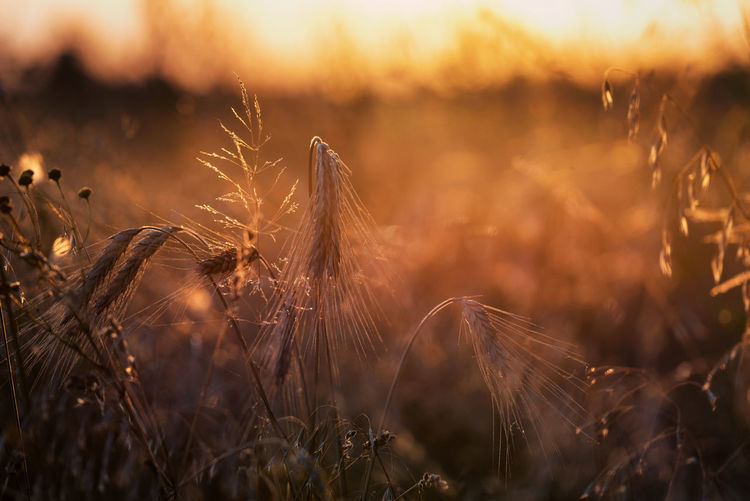 Close-up of stalks in field against sky during sunset