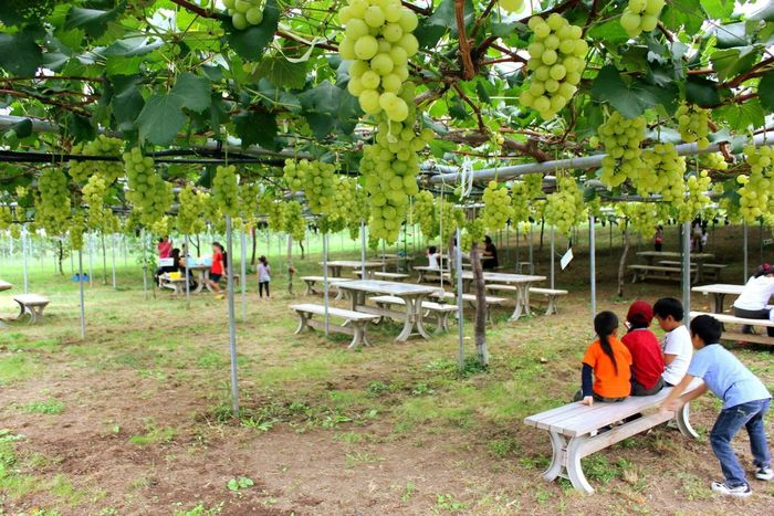 Grapes Picking 🍇 Tree Nature Real People Medium Group Of People Day Men Sitting Outdoors Relaxation Growth Women Beauty In Nature Full Length Adult People Adults Only Iwate Prefecture