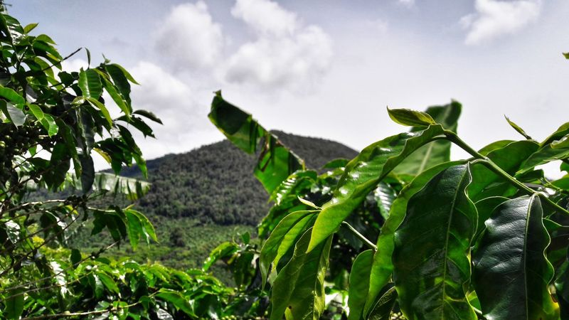 Leaf Growth Nature Green Color Plant Tree No People Agriculture Day Outdoors Low Angle View Sky Rural Scene Beauty In Nature Food Freshness Tea Crop Close-up EyeEmNewHere The Week On EyeEm EyeEm Selects Coffee Plantations