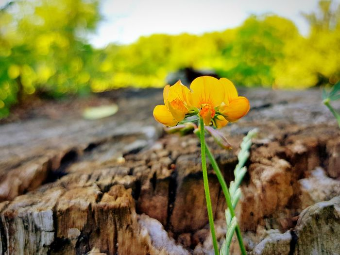 Close-up of yellow flower blooming by tree stump