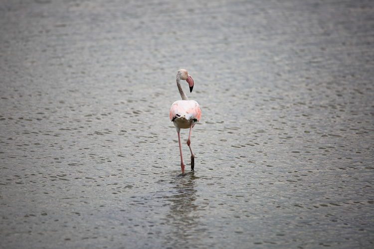 Camminando sull'acqua Water Pink Color Flamingo Animal Wildlife Animals In The Wild Selective Focus Standing Bird Rear View Day EyeEm Best Shots EyeEm Nature Lover Bestoftheday Photooftheday Wildlife & Nature Italy Canon5Dmk3 Tamron150600g2 Scenics - Nature Outdoors Camouflage Eyes Reflections In The Water Silhouette Silence