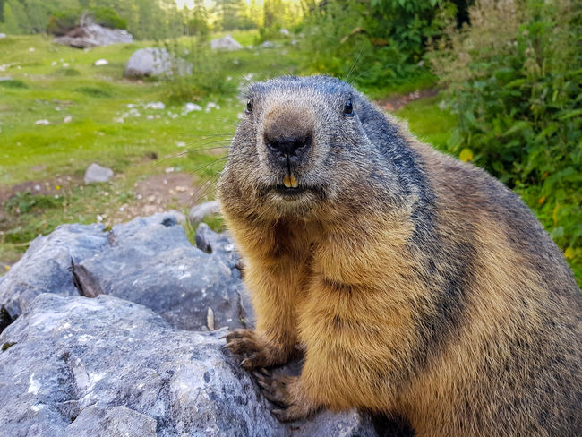 Look At Me Adventure Alps Animal Animal Themes Animal Wildlife Animals In The Wild Close-up Day Fur Mammal Marmot Mountain Animal Nature No People One Animal Outdoors Rock - Object Sitting Wildlife