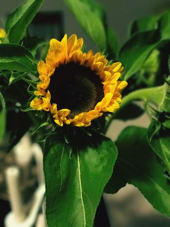 Flower Fragility Petal Leaf Flower Head Yellow Beauty In Nature Growth Freshness Close-up Nature Plant Focus On Foreground Outdoors Day No People Green Color Sunflower Blooming
