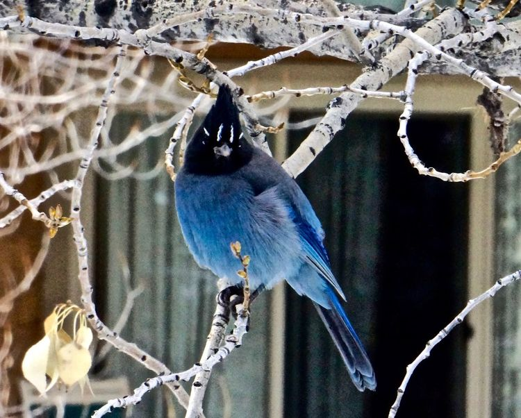 western blue jay Blue Jay Vail Colorado Animal Themes Animal Wildlife Animals In The Wild Beauty In Nature Bird Branch Close-up Cold Temperature Day Focus On Foreground Nature No People One Animal Outdoors Perching Vail  Vail,co Western Blue Jay Winter