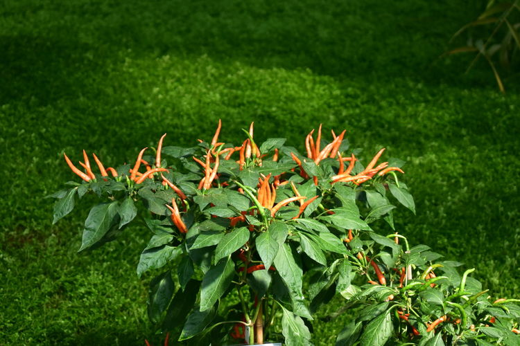 Green Color Plant Nature Growth Leaf No People Grass Outdoors Day Beauty In Nature Close-up Freshness Flower Paprica