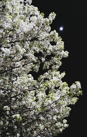 Tree & Moon 2 Tree Blooming Bloom Inbloom Whiteflowers Flowers Moon Sky Beauty Beautiful Beautyinnature  Pretty Spring