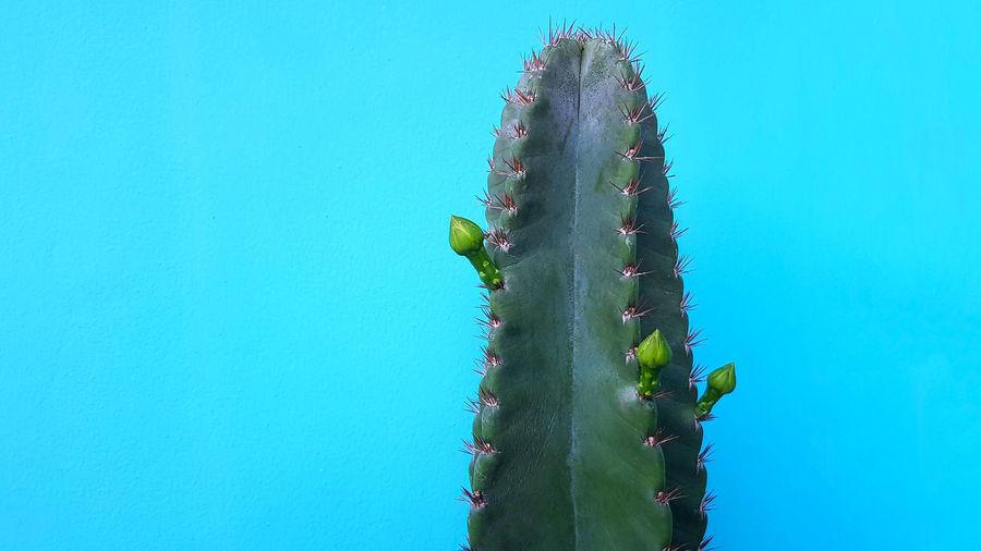 Cactus plant against blue sky