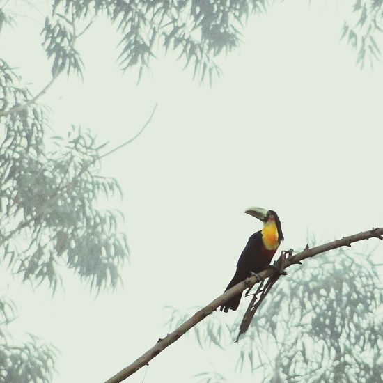 Animal Wildlife Bird Animals In The Wild One Animal Branch Tree Animal Themes Beauty In Nature Nature Animal Cold Temperature No People Songbird  Outdoors Day Tucano Tucan Perching Brazilian Nature Brazil