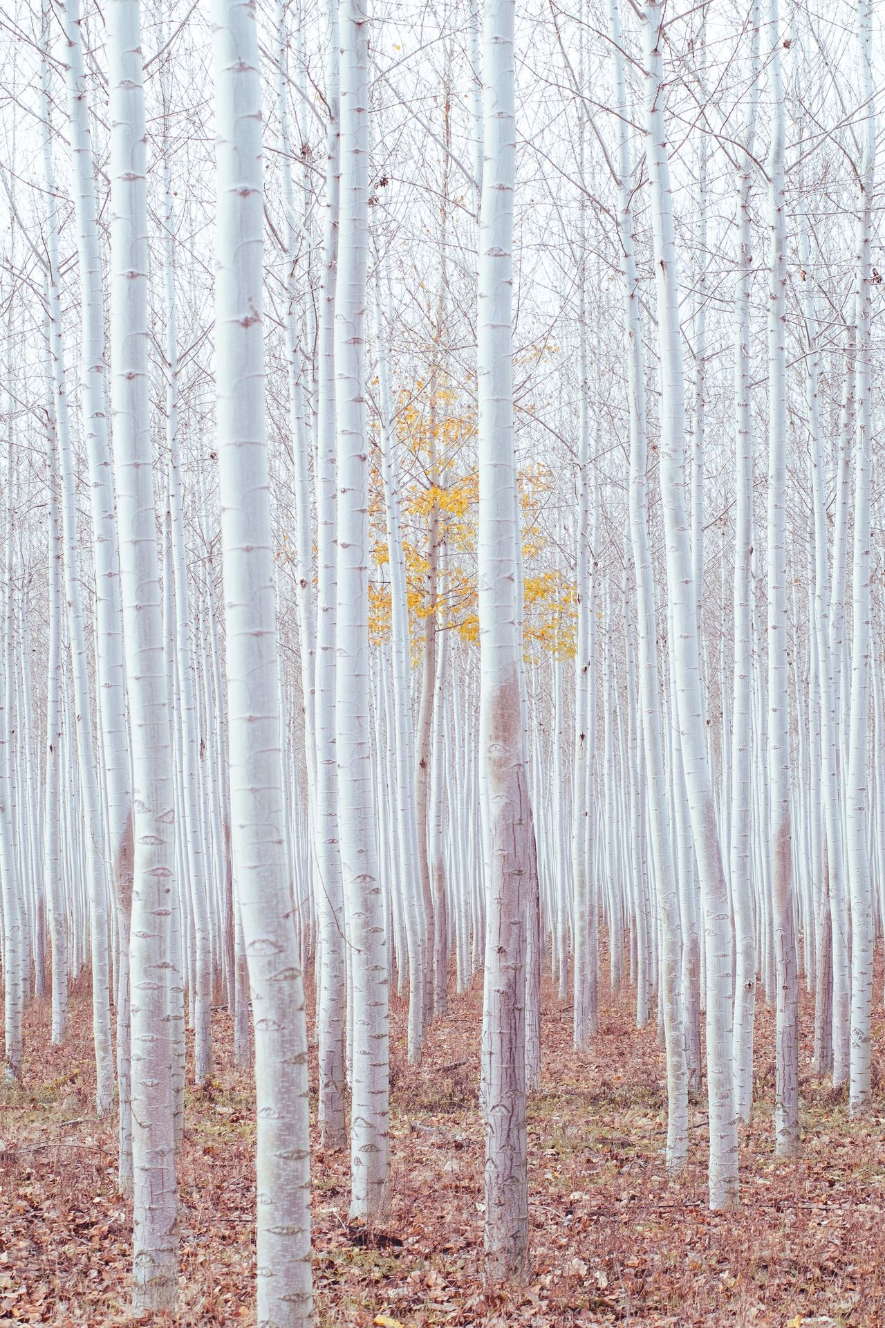 Birch trees at forest