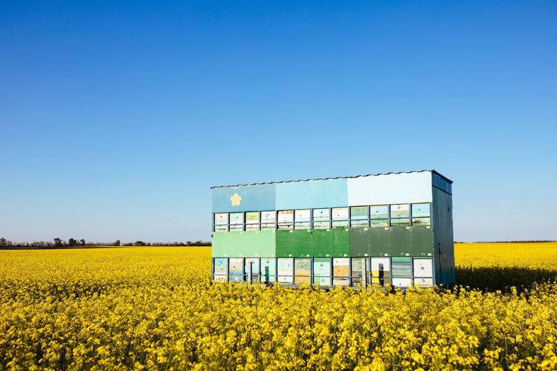 Trailer full of a beehive in the middle of a yellow oilseed field. summer day without of clouds