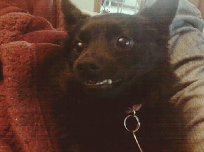 Smiling Miss Jasper Domesticated Dogs Pets Dog Portrait Close-up