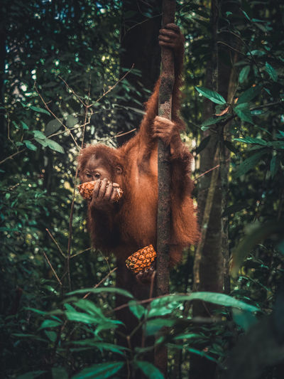 Bukit lawang Animal Animal Themes Animal Wildlife Animals In The Wild Brown Bukit Lawang Day Focus On Foreground Forest Land Mammal Monkey Nature No People One Animal Orangutan Outdoors Plant Primate Tree Vertebrate The Great Outdoors - 2018 EyeEm Awards