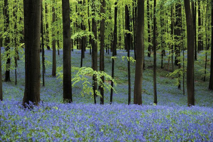Anticipating the spring - Spring Flower Wood Forest Bois Bois De Hal Hallerbos Flower Carpet Dreamy Landscape Traveling Belgium Tranquility Bluebells Nature