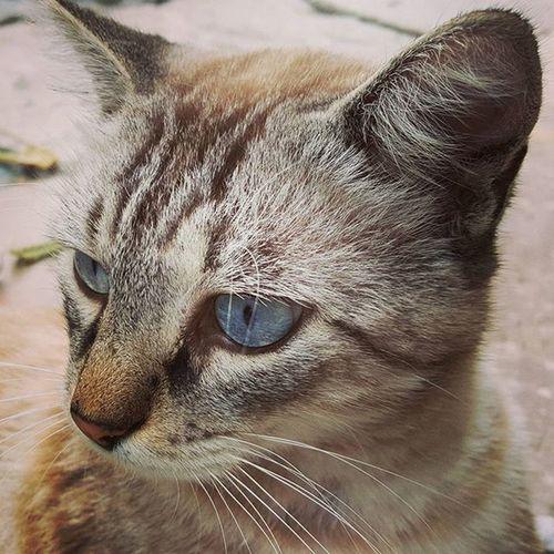 😻😻😻😻😻😻 AmazingCat Beautifulcat BlueEyes Gattomeraviglioso Occhidigatto OcchiBlu Lovecat  Lovecats Animalfriends Universeintheeyes Felinefascination Fascinofelino