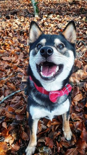 Shiba Inu Dogs Of EyeEm Puppy Shiba Inu LOVE Bowtie Black And Tan EyeEm Selects Pets Portrait Dog Leaf Autumn Sticking Out Tongue Looking At Camera High Angle View Close-up Animal Mouth Canine Fall Animal Tongue
