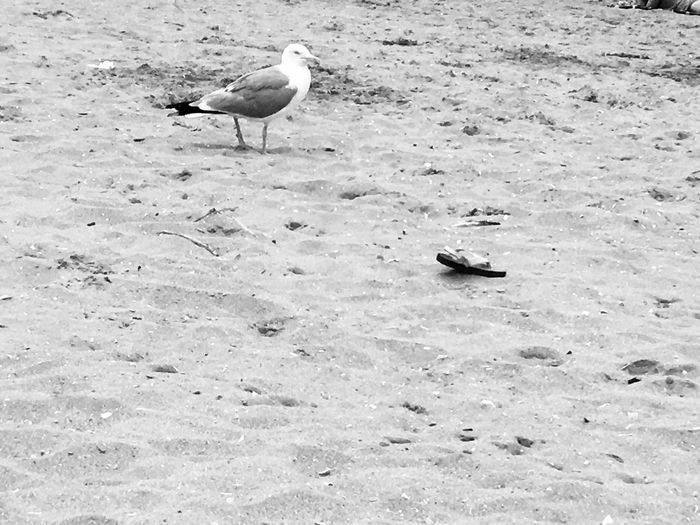 Seagull and abandonned flip flop Deauville Blackandwhite Travel Destinations Idyllic Landscape Land Tranquil Scene Tranquility Animals In The Wild Animal Wildlife Animal Themes Animal One Animal No Poeple Beach Sand Lost Abandoned Tong Flip-flop Shoe Seagull Bird Water Perching Day Outdoors Waterfront Nature
