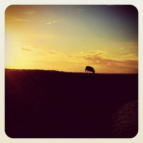 Good night #sheep ??? #sunset #ireland #hill_of_tara #earlybirdlove #jj #jj_forum #ireland #beautiful_ireland #landscape Sunset Landscape Sheep Ireland Jj  Earlybirdlove Jj_forum Hill_of_tara Beautiful_ireland