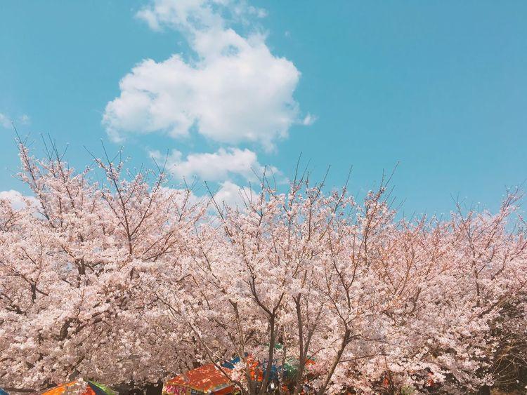 First Eyeem Photo 벚꽃놀이 벚꽃나무 자연 벚꽃 벚꽃은 벚꽃구경 벚꽃만개 벚꽃축제