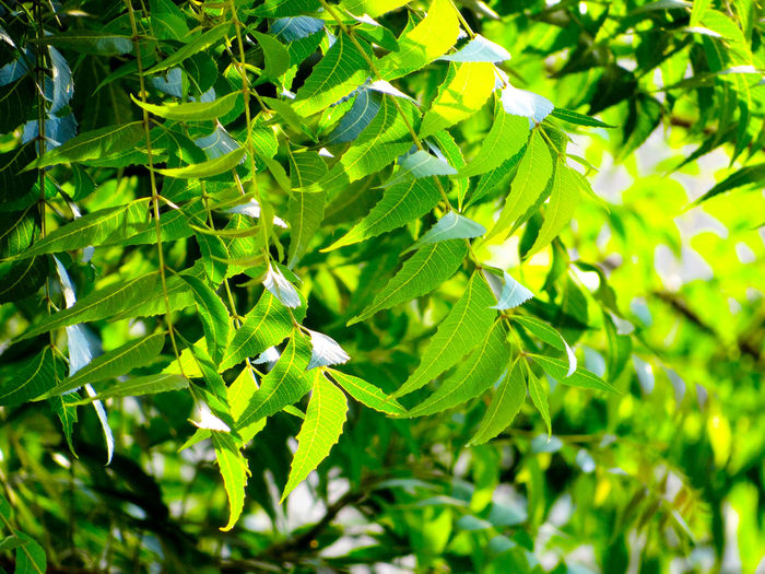THE GREENERY Neem Leaves Natural Pattern Greenery Scenery Nature Rich Green Tones Lush Foliage Lush - Description Greenery Freshness Branches Of Trees Lush Green Leaves