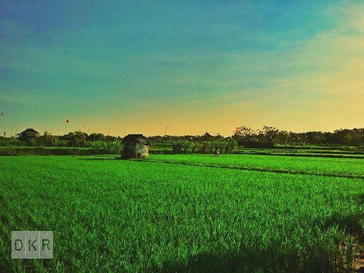 Picture Panorama Ricefield Rice View Village Farm Farmlife Life Green Landscape Kamerahpgw Kamerahpgw_denpasar Nature Natural Bali Matalensa Mataponsel PhonePhotography Photograph Photooftheday