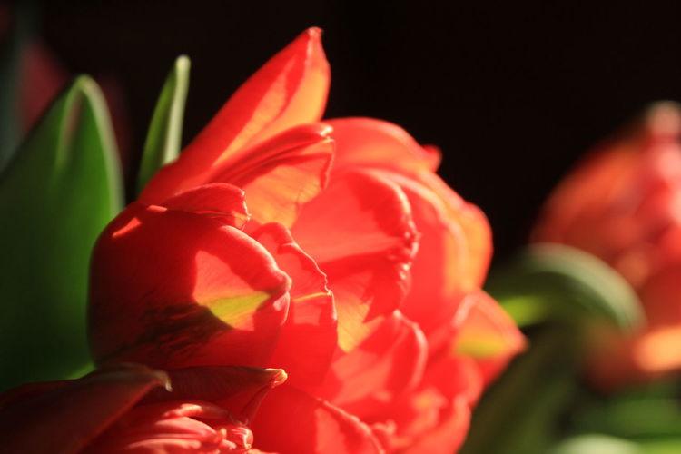 Flowers Flowermagic Flowerporn Natural Light Flowers,Plants & Garden Natural Beauty No Edit Beauty In Nature Flower Head Flower Poppy Red Petal Close-up Plant In Bloom Tulip Blooming