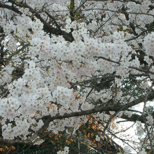 White Flowers Relaxing Beautiful Cherry Blossoms Hello World Gyeongpodae Korea