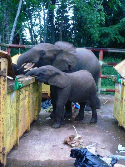 Les éléphants Du Gabon