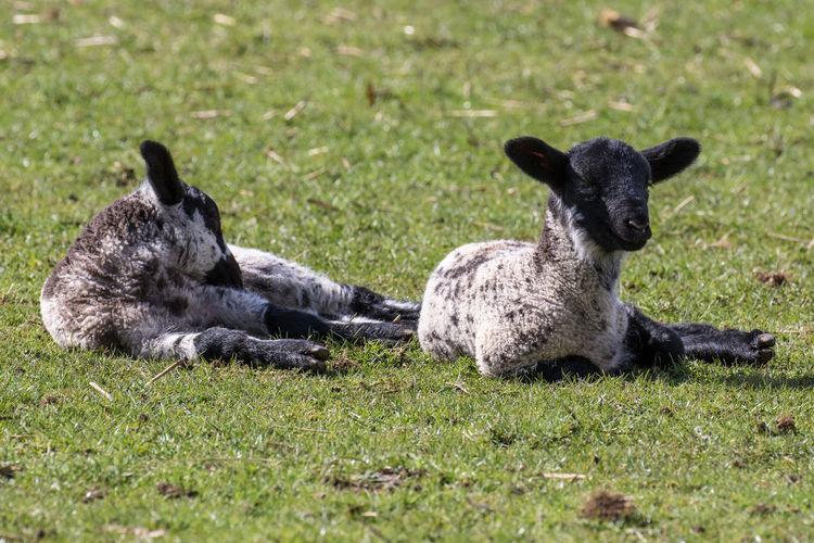 Full length of lambs lying on grassy field