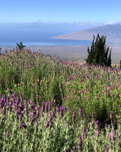 Lavender Fields Island Coastline Lavender Aloha Hawaii Maui Plant Beauty In Nature Growth Flower Flowering Plant Sea Sky Nature Land Scenics - Nature No People Tranquility Tranquil Scene Freshness Day Water Fragility Vulnerability  Beach