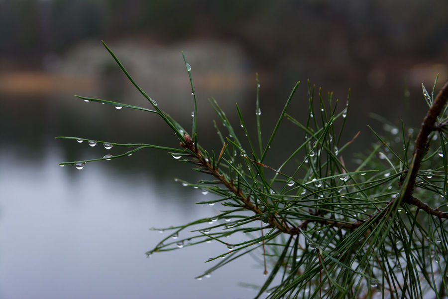 Autumn Low Key Pine Water Droplets Water Drops Beauty In Nature Drop Fragility Freshness Nature Pine Tree Water