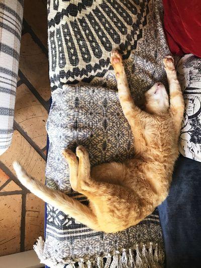 Ginger Cat Pet