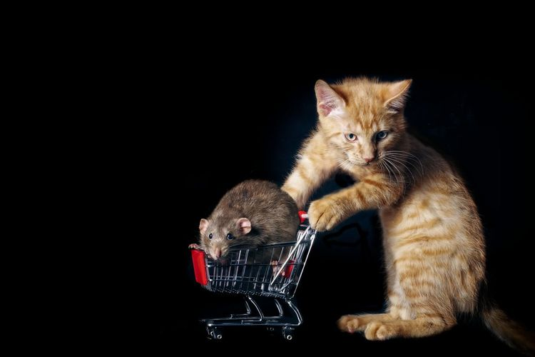 Funny ginger cat with a rodent in a shopping cart. Cat Food Copy Space EyeEmNewHere FUNNY ANIMALS Ginger Cat Grocery Shopping Pets Corner Rat Shopping Cart Animal Themes Black Background Domestic Cat Food Friend Or Foe Indoors  Isolated On Black Mammal No People Pets Red Rodent Shop Till You Drop Tabby Cat Togetherness Two Animals