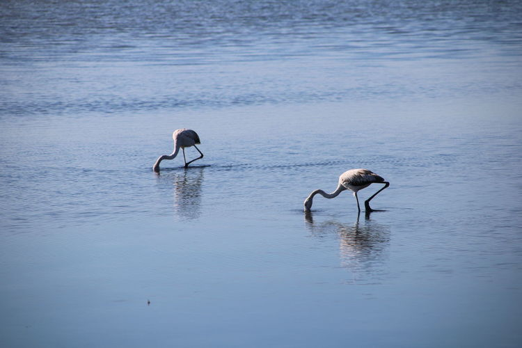 Two flamingos in a lake